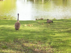 geese and their goslings at the pond