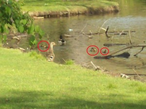 ducks and ducklings in a pond