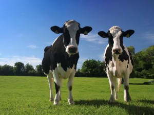 black and white diary cows blue sky green grass